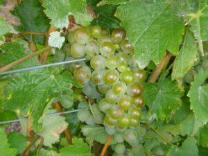 Sauvignon Blanc grapes.