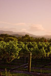 The Alabama Road vineyard - looking towards the hills, vintage 2011.
