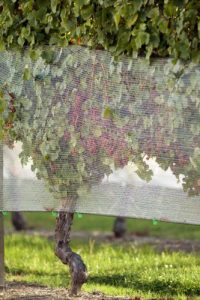 Gewurztraminer grapes protected by the nets - vintage 2011.