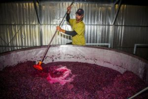 Marcus plunging the Pinot Noir